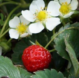 strawberry-834947_1920.jpg